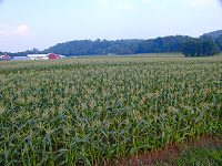 July 1st and the sweet corn is ready to pick