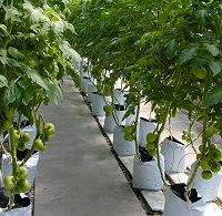 Tomatoes growing hydroponically