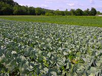 One of our Cabbage fields