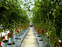 Our Cocktail Tomato Plants tower over you!
